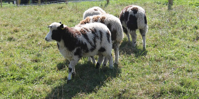Can Sheep Provide Evidence for the Bible?