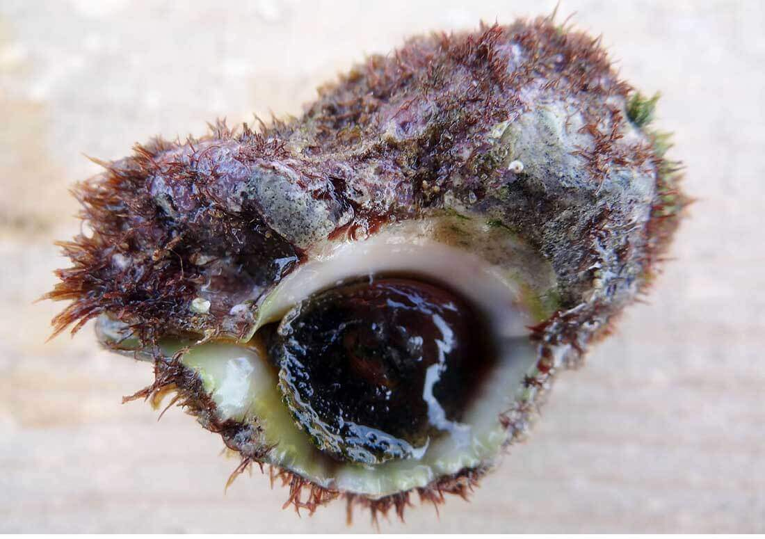 Hexaplex trunculus snail found in Israel. (from Wikimedia Commons)